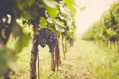 Branch of red wine grapes, toned. Branch of red wine grapes in the vineyard royalty free stock photo