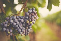 Branch of red wine grapes, toned. Branch of red wine grapes in the vineyard royalty free stock image