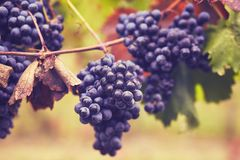 Branch of red wine grapes. Toned image royalty free stock photography