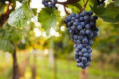 Branch of red wine grapes. In the vineyard royalty free stock photo