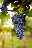 Branch of red wine grapes. In the vineyard royalty free stock photos