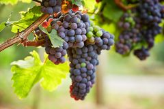 Branch of red wine grapes royalty free stock photo