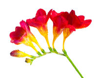 Branch of red and yellow freesia Stock Photos