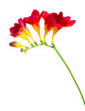 Branch of red and yellow freesia Stock Image