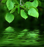 Branch reflected in water. Stock Photography
