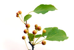 Branch with rennets Royalty Free Stock Image