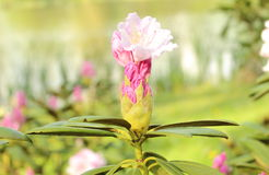 Branch of Rhododendron bush in natural habitat Stock Image