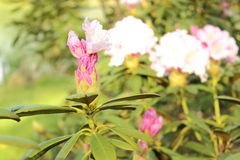 Branch of Rhododendron bush in natural habitat Stock Photo