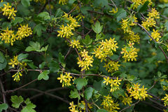 Branch Ribes aureum Pursh. Flowering branch Ribes aureum Pursh Royalty Free Stock Image