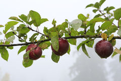 Branch of ripe apples Stock Photography