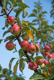 Branch with ripe apples Stock Photo