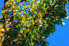 The branch of ripe apricot Royalty Free Stock Photography
