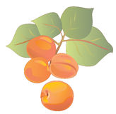 A branch of ripe apricots. With green leaves Stock Image