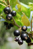 A branch of the ripe berries of a black currant. Stock Photography