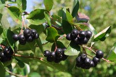 A branch of the ripe berries of a chokeberry. Stock Photos