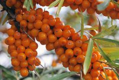 A branch of the ripe berries of sea buckthorn Royalty Free Stock Images