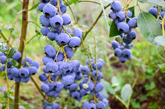 Branch of ripe blueberry. In the garden Royalty Free Stock Images