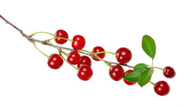 Branch of ripe cherries Stock Image