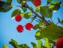 Branch of ripe cherries. stock image