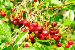 Branch of ripe cherry Stock Image