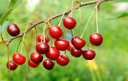 Branch of ripe cherry Royalty Free Stock Images