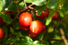Branch with ripe cherry plums. Branch with red cherry plums Stock Photo