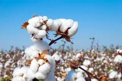 Branch of ripe cotton. On the cotton field, Uzbekistan stock photography