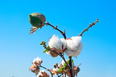 Branch of ripe cotton Stock Image