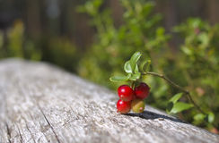 Branch of a ripe cowberry. Stock Photos