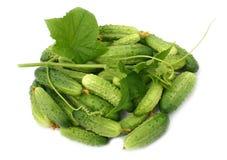 Branch with ripe cucumbers. Green cucumber branch with ripe cucumbers Royalty Free Stock Photos