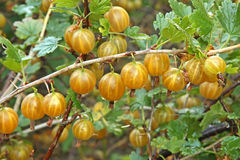 Branch of ripe gooseberries in the garden Royalty Free Stock Images