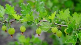 Branch with ripe gooseberry swings in wind stock video