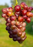 Branch of ripe grapes Stock Photography