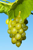 Branch of ripe green grapes Royalty Free Stock Photography