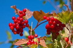 Branch of a ripe guelder-rose Royalty Free Stock Images