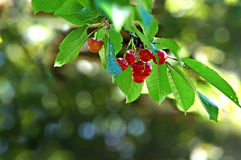 Branch of ripe juicy red cherries. On a background of bokeh stock photos