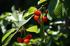 Branch of ripe juicy red cherries. On a background of leaves Royalty Free Stock Photography