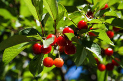 Branch of ripe juicy red cherries. On a background of leaves Royalty Free Stock Image