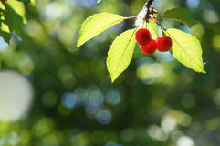 The branch of  ripe juicy red cherry berries. Branch of ripe juicy red cherry berries on a background of bokeh stock photo