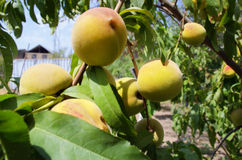 Branch with ripe large peaches Stock Photos