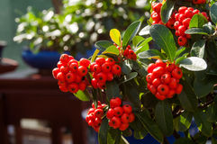 Branch of ripe mountain ash in the bush Royalty Free Stock Photos