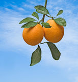 Branch with ripe orange Stock Images