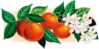 Branch with ripe oranges and flowers. Branch with ripe oranges and flowers with leaves on sky background Stock Photos