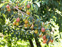 Branch with ripe pear fruits on tree in garden Royalty Free Stock Image