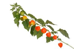 Branch with ripe physalis isolated on a white Royalty Free Stock Photos