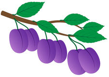 Branch of ripe plums Stock Image
