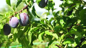 The branch with ripe plums. And leaves . Agriculture stock video
