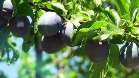 The branch with ripe plums. And leaves . Agriculture stock footage