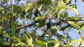 Ripe Plums on branch. Branch with ripe plums in the orchard closeup stock video footage