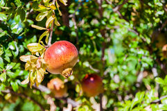 Branch with ripe pomegranate Royalty Free Stock Images